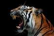 Head of sumateran tiger