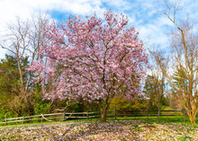 Saucer Magnolia Tree In Bloom