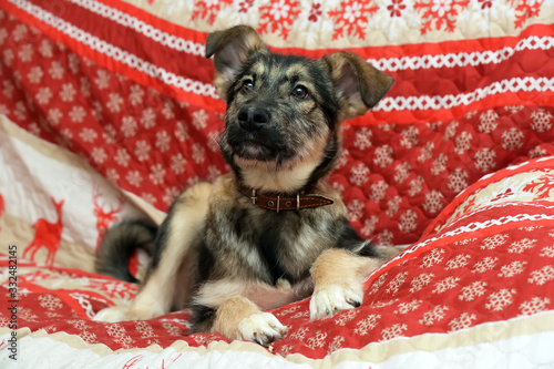 Foto mongrel puppy lies on a red bedspread