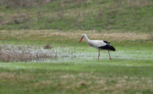 Birds - White Stork (Ciconia Ciconia) In Spring Meadow