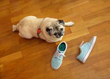 Dog Pug With Shoes On Orange F...