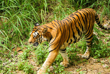 Tiger In The Forest, Tiger Wal...