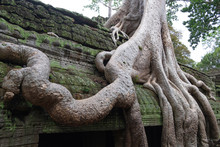 Picturesque Scenery Of Giant Tree Roots Growing Over Old Religious Temple Of Angkor Wat In Cambodia