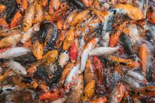 Heap Of Fish In Water Feeding ...