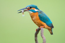 Colorful Kingfisher With Long ...