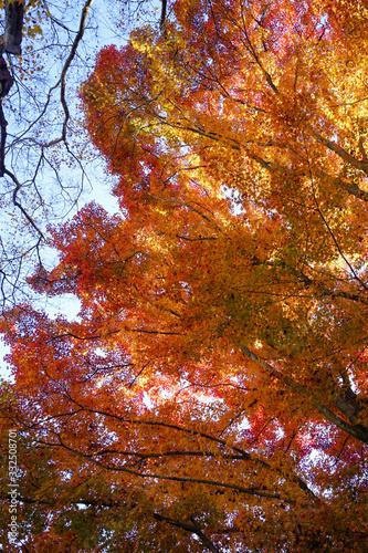 日本楓の紅葉風景 © ykimura65