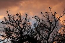 Monk Parakeets (Myiopsitta Mon...