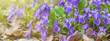Violet violets (Viola odorata) flowers bloom in the spring forest, closeup, panorama, banner