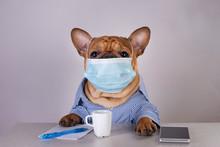 French Bulldog In Medical Mask...