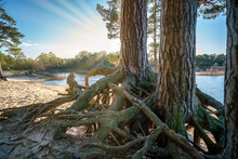 Pine Trees With Visible Roots ...