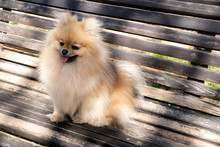 Adorable Pomeranian Spitz Dog Sitting On A Bench Outdoors. Faithful Friend