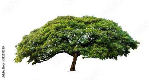 Tree isolated on white background, nature background. Fototapeta