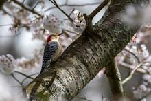 Female Red-bellied Woodpecker In A Flowering Cherry Tree
