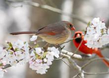 Northern Cardinal Pair In Flow...
