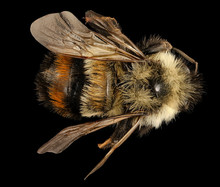 Bombus Affinis,bee Macro Specimen, Flying Insect , Side Front Back, Tucker County, West Virginia. An Endangered Species.