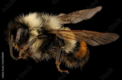Fényképezés Bombus affinis, bee Macro specimen, Flying insect , side front back, Tucker County, West Virginia