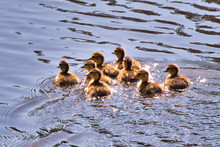 Eight Little Ducklings Swimming Together In A Pond.