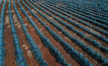 Aerial View Of Agave Crop In T...