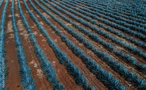 Fototapeta Aerial view of agave crop in Tequila Mexico obraz