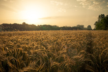 Wheat Field In The Early Morning