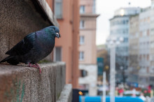 Pigeon Looking At The City Of ...