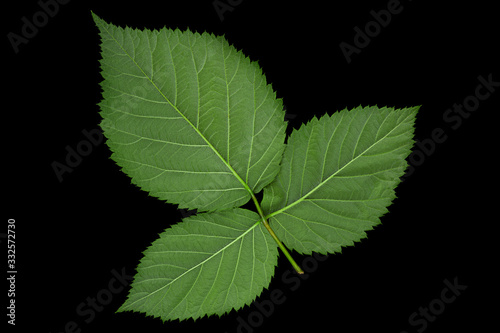 Valokuvatapetti Blackberry fruit leaf closeup