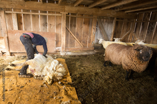 Photo Traditional sheep shearing in an old New England barn.