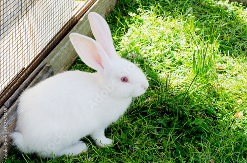 Photo A white rabbit is sitting in the green grass in the corral