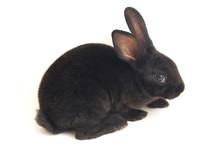 Cute Little Rex Black Rabbit I...