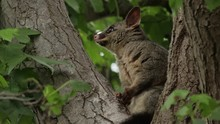 A Young Australian Brushtail P...