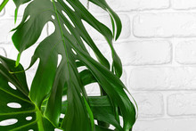 Close Up Of A Monstera Plant L...