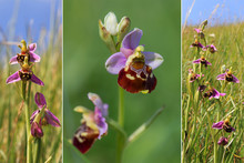 Collage - Rarely Bee-orchid Wi...