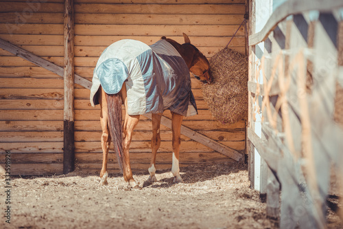 Fotografia, Obraz chestnut budyonny gelding horse in halter and blanket eating hay from haynet in