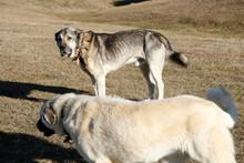 Big Anatolian Shepherd Dog In Nature
