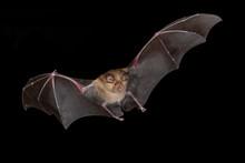 Greater Horseshoe Bat