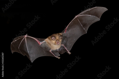 Canvas Print Greater horseshoe bat