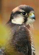 Close Up Head And Shoulders Of A Barbary Falcon (Falco Pelegrinoides) Bird Of Prey