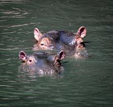 Two Hippos Swimming In Kenya