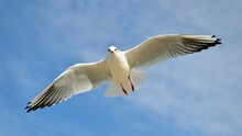 Single Seagull In The Blue Sky. Lovely Seagull Looking Straight At The Camera. Panoramic Shot