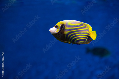 Imperial angel fish (Pomacanthodes imperator) in aquarium Wallpaper Mural