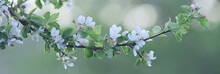 Abstract Apple Tree Flowers Ba...