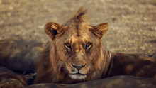 A Male Lion Is Sitting On The ...