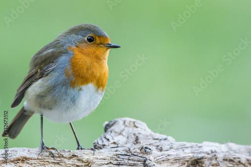 Fototapeta A european robin (Erithacus rubecula)
