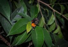 Papillon Orange Et Noir Sur Sa...