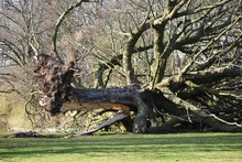 Fallen Uprooted Tree In A Park...