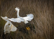 Snowy Egret Flying At Lake On ...