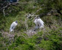 Wood Storks In Nesting Colony At Harris Neck Wildlife Sanctuary In Georgias.