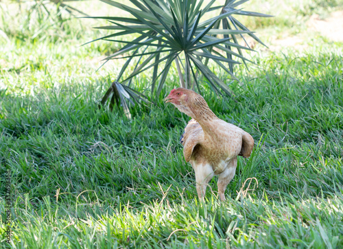 Fotografia Galinha criada solta na fazenda.