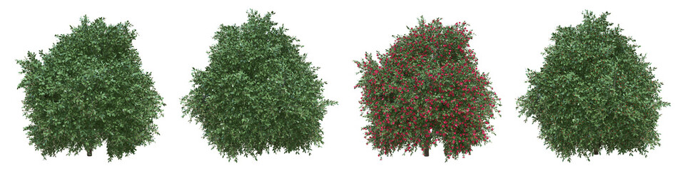 Japanese camellia full-size real trees isolated with clipping path and alpha channel. Camellia japonica in all seasons.3d rendering for digital composition.
