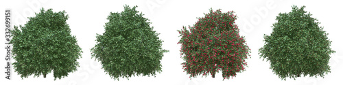 Photo Japanese camellia full-size real trees isolated with clipping path and alpha channel
